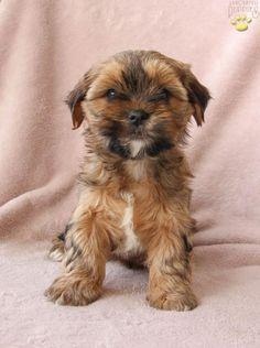 Emma - Shorkie Puppy for Sale in Berlin, OH Shorkie Puppies For Sale, Dogs And Puppies, New Puppy, Puppy Love, Animals Dog, Cute Animals, Lancaster Puppies, Puppy Breeds, Yorkshire Terrier