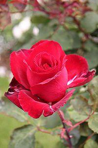 """Rose cultivars named after people   """"Marcel Pagnol"""""""