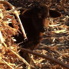 Baby calf hiding behind the hay