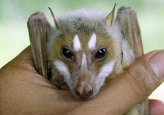 A rare flying fox bat discovered in the Philippines, thought to no longer exist. CUTENESS!