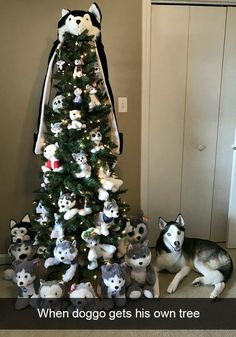 Wonderful All About The Siberian Husky Ideas. Prodigious All About The Siberian Husky Ideas. Cute Funny Animals, Funny Animal Pictures, Funny Cute, Funny Dogs, Hilarious, Christmas Dog, Christmas Humor, Christmas Photos, Animals And Pets