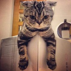 Shishi-Maru, Scottish Fold Cat, The Newest Instagram Megastar