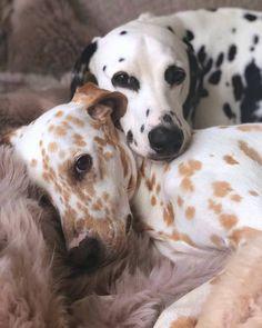"kathifee-world: "" photohab: ""Meet Khaleesi & Django – Dalmatians from Wiesba… kathifee-world: ""photobab:"" Meet the Kalees & Django – Dalmatiner aus Wiesbaden """" Cute Baby Animals, Animals And Pets, Funny Animals, Wild Animals, Cute Puppies, Cute Dogs, Dogs And Puppies, Doggies, Funny Dogs"