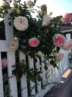 Spring. Climbing roses on my fence