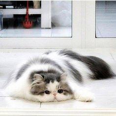 Un magnifique Chat angora gris et blanc ..... complètement Raplapla