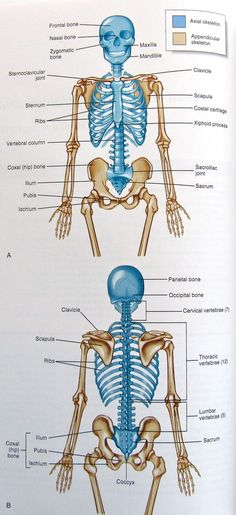 Diagram Of The Human Body Internal Organs Nursing Pinterest