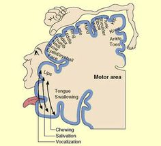"""THE MOTOR CORTEX-from """"The Brain from Top to Bottom"""". Pinned by SOS Inc. Resources.  Follow all our boards at http://pinterest.com/sostherapy  for therapy resources"""