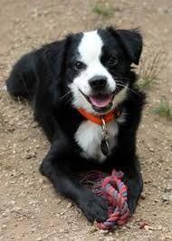 Image result for border terrier mix