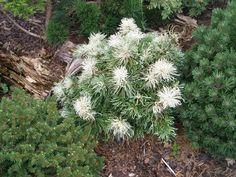 Pinus parviflora'Tanima No Yuki'