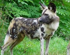 The African Wild Dog-- (also known as the Painted Dog and the Cape Hunting Dog) is a medium sized species of canine found across sub-Saharan Africa. The African Wild Dog is most easily identified from both domestic and other wild Dogs by their brightly mottled fur, with it's name in Latin aptly meaning painted wolf. The African Wild Dog is said to be the most sociable of all the canines, living in packs of around 30 individuals.