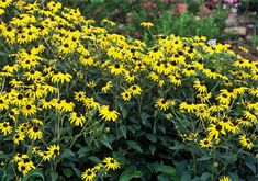 RUDBECKIA FULG. 'GOLDSTURM' - Google Search Portland Garden, Clay Soil, Black Eyed Susan, Drought Tolerant, Cut Flowers, Perennials, Plants, Google Search, Flora