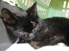 3 MONTH OLD KITTEN HAS HIP DYSPLASIA AND LAMENESS - NEEDS RESCUE!
