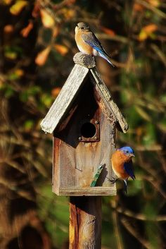 I absolutely LOVE blue birds.  We had a few families about 2 years ago come to our bird houses