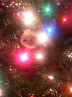 My cat playing in the Christmas tree when he was a kitten <3