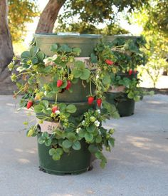 Stacked Strawberries - Turn a couple plastic bins and a water bottle into a stellar self-watering system.