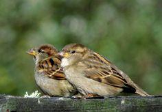 house sparrows | House Sparrow (Passer domesticus) photo