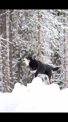 Dog from Finnish Lapland, lapponian herdee, lapinporokoira Räpsy Lol, Cats, Outdoor, Outdoors, Gatos, Outdoor Games, Cat, Kitty, The Great Outdoors