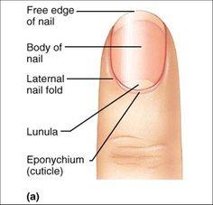 Image result for label parts of  fingernail