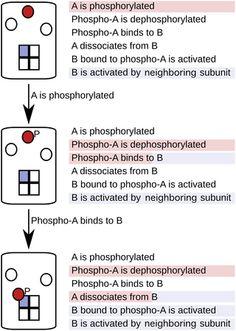 M.I. Stefan, T.M. Bartol, T.J. Sejnowski, M.B. Kennedy (2014) Multi-state Modeling of Biomolecules PLoS Comput Biol, 10(9): e1003844.
