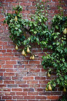 brick wall with espaliered pear tree. Inchyra House, Scotland