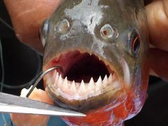 My, what sharp teeth you have.   Fishing for piranha in Brazil's Pantanal. Just to remind myself of my place on the food chain.