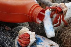 Hermit crabs near a plastic bottle, image from IMAS report into marine pollution's effects on wildlife in Cocos (Keeling) Islands in the Indian Ocean and Henderson Island in the Pacific Islands In The Pacific, Hermit Crabs, Climate Change Effects, Plastic Pollution, Plastic Bottles, Wildlife, Ocean, Container