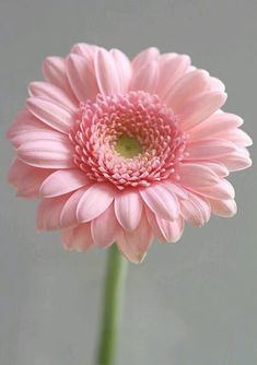 flores frases Gerbera daisy Not my Favorite colour though Gerbera daisy Not my Favorite colour though Small Pink Flowers, Pretty Flowers, Pink Roses, Pink Gerbera, Gerbera Flower, Daisy Flowers, Pink Hydrangea, Single Flowers, Light Pink Flowers