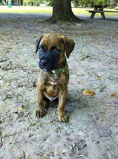 (Benelli - Boxer mix) looks just like my pup!