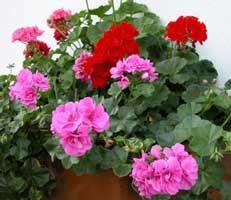 Y gitanillas de flor doble, zonales y colgantes Mucho sol, regar solo cuando la tierra este seca, en temperatura alrededor de 65º.