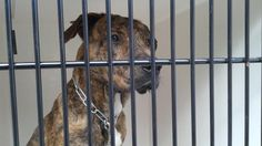 11/28/16- SUPER URGENT - HOUSTON FACILITY IS OVER CAPACITY -This DOG - ID#A473064  I am a male, brown brindle and white Plott Hound mix.  My age is unknown.  I have been at the shelter since Nov 28, 2016.  This information was refreshed 49 minutes ago and may not represent all of the animals at the Harris County Public Health and Environmental Services.