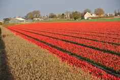 Na geel komt ook rood uit de grond, de eerste tulpen!