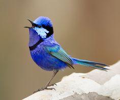 Splendid Fairy Wren Singing