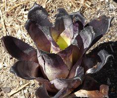 Bromeliads   美麗的觀葉植物積水鳳梨