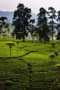 Tea patterns in Sri Lanka #VisitSriLanka #SriLanka #lka