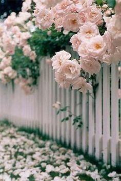 English roses over a white picket fence = charming  (This looks like the big rose bush we had in front of our porch when I was a kid)