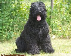 Black Russian Terrier Black Russian