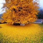 An Ancient Chinese Ginkgo Tree Drops an Ocean of Golden Leaves by Chrostopher Jobson. This towering ginkgo tree is located within the walls of the Gu Guanyin Buddhist Temple in the Zhongnan Mountains in China. Every autumn the green leaves on the 1,400-year-old tree turn bright yellow and fall into a golden heap on the temple grounds drawing tourists from the surrounding area..
