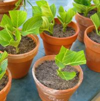 C'est le moment de bouturer les hortensias: simplissime! (Femmes d'Aujourd'hui) …