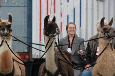 Part driving llamas. Llamas, Horses, Activities, Animals, Animaux, Horse, Animal, Animales, Animais