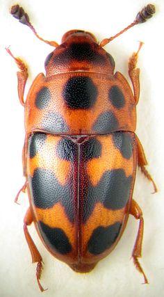 Beetle, Glyscheochilus pantherinus, K.V. Makarov