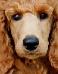 images of Standard poodle London - Bing Images