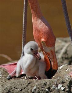 Flamant rose et bébé