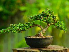 Portulacaria Afra (dwarf Jade) succulent bonsai tree by Little Jade Bonsai. House Plants, Jade Plants, Bonsai Forest, Plants, Jade Succulent, Elephant Plant, Bonzai Tree, Succulent Bonsai, Miniature Trees