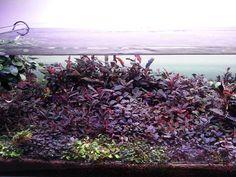 Bucephalandra tank by Callis Chue