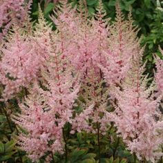 Astible Erika 7.5L - Astilbes are long-blooming, plume-like flowers in soft shades of white, pink and red. The flowers are held on tall, stiff stalks, above the airy leaves. Astilbes are one of the easiest perennial flowers to grow, but they give a high return. Virtually pest free, they can light up the shade garden or soften a sunny spot. 'Erika' is a tall hybrid cultivar which features open, narrow spears of light heather pink flowers on upright stems.