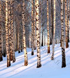 koivunrungot - koivu lehtipuu runko koivumetsä koivikko metsä metsänhoito kuitupuu hanki varjo valo talvi lumi kirkas raikas valkoinen  valo tammikuu pakkanen suorat rungot lehtipuumetsä metsänhoito hoidettu rinne