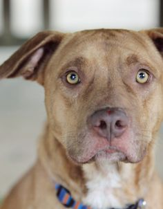 Adopted! Meet Huck! Huck is a Retriever, Chesapeake Bay/Terrier Pit Bull mix! Huck is a one year old pup with lots of energy!
