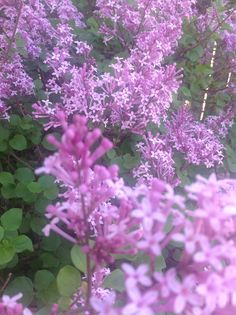 This beauty is a Dwarf Korean Lilac bush. Stunningly gorgeous and fragrant, too!