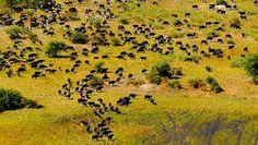 Moremi 14 Tage Wunderwelten-Reise. Tierherden im Okavango Delta aus der Luft (© FVA Botswana / Chamäleon)