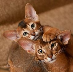 Abyssinian cats - OMG...Alexis...they look like Pharaoh and Isis. Must show dad.